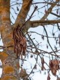 垂悬在光秃的分支秋天树的布朗死干燥叶子 免版税图库摄影