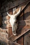 垂悬在农厂木谷仓墙壁上的白色公牛头骨 动物尸体头 库存图片