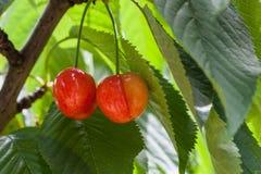 垂悬在分支的特写镜头观点的两棵可口红色樱桃 图库摄影