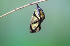 垂悬在分支的美丽的国君蝶蛹 图库摄影