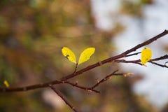 垂悬在分支的美丽,明亮的五颜六色的叶子在秋天 图库摄影
