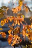 垂悬在分支的美丽,明亮的五颜六色的叶子在秋天 免版税库存照片
