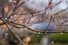 垂悬在分支的许多雨珠在雨以后 库存照片