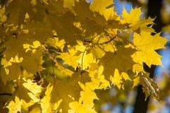 垂悬在分支的黄色槭树叶子 免版税库存图片