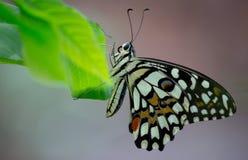 垂悬在叶子的共同的石灰蝴蝶 免版税库存照片