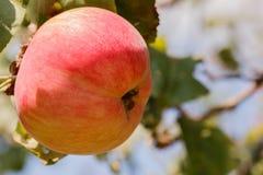 垂悬在叶子背景的一个分支的红色苹果计算机  库存照片