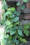 垂悬在墙壁上的绿色叶子 库存照片
