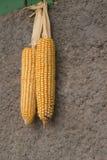 垂悬在墙壁-秋天庄稼上的两根玉米棒子 免版税库存图片