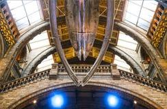 垂悬在大厅的蓝鲸骨骼在自然历史博物馆在伦敦英国1 - 11 - 2018年 免版税库存图片