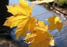 垂悬在小河的黄色秋天叶子 免版税库存图片