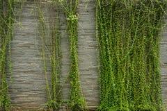 垂悬在岩石的绿色藤构造了在雅加达拍的墙壁照片印度尼西亚 免版税图库摄影