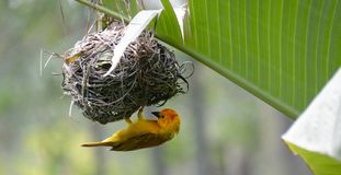 垂悬在巢的橙色织布工 免版税库存照片
