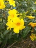 垂悬在庭院的树的黄色alamanda花 库存照片