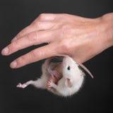 垂悬在拇指的小鼠 免版税库存照片