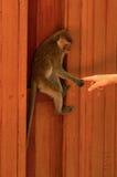 垂悬在木墙壁和举行手指或一部分上的幼小猕猴属猴子的人的手 向人的结触 免版税库存图片