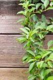 垂悬在木墙壁的绿叶 免版税库存图片