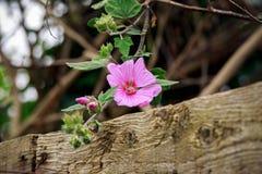 垂悬在木篱芭,选择的焦点的lavatera桃红色花 免版税库存图片
