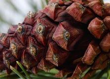 垂悬在杉树的宏观pinecone 免版税库存照片