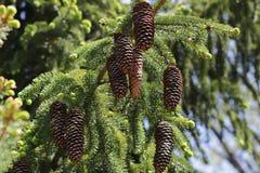 垂悬在杉树的小组长的杉木锥体 库存照片