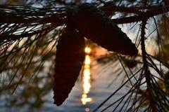 垂悬在松树的两个棕色锥体 免版税库存照片