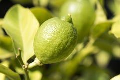 垂悬在柠檬树的成熟柠檬 图库摄影
