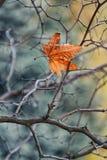 垂悬在树光秃的分支的金黄秋叶  免版税库存照片
