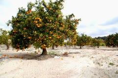 垂悬在树和落对地面的桔子 免版税库存图片