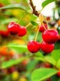 垂悬在树枝特写镜头的欧洲酸樱桃 免版税库存图片
