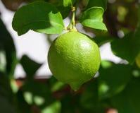 垂悬在树的充满活力的绿色柠檬 库存图片