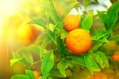 垂悬在树的成熟桔子或蜜桔 免版税库存图片