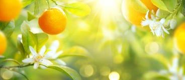 垂悬在树的成熟桔子或蜜桔 免版税库存照片