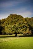 垂悬在树的新鲜的栗子 免版税库存照片