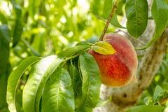 垂悬在树的新鲜的桃子在果树园 库存照片