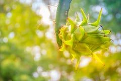 垂悬在树的有机未加工的龙根天南星果子 Pitahaya或阻力 免版税库存照片