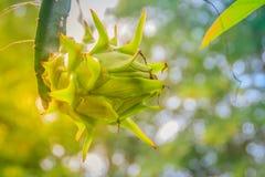 垂悬在树的有机未加工的龙根天南星果子 Pitahaya或阻力 免版税库存图片