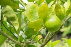 垂悬在树的柠檬 免版税库存照片