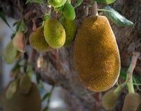 垂悬在树的波罗蜜 免版税库存照片