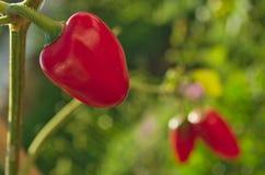 垂悬在树的红色多香果 库存图片