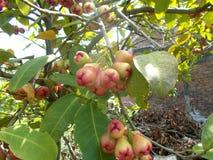 垂悬在树的红色番樱桃果子 免版税图库摄影