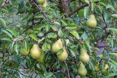 垂悬在树的绿色水多的梨 免版税库存图片