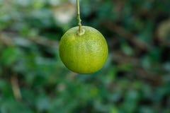 垂悬在树的耕种绿色柠檬 免版税库存图片