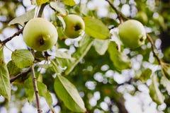 垂悬在树的苹果 免版税库存照片