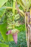 垂悬在树的香蕉开花 免版税库存照片