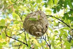 垂悬在树的黄蜂巢 免版税库存照片