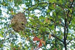 垂悬在树的黄蜂巢 免版税库存图片