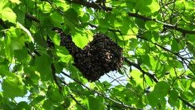 垂悬在树的Beeswarm 股票视频