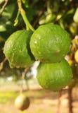 垂悬在植物中的Narthankai [香橼果子] 库存图片