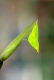 垂悬在植物分支的蝶蛹  图库摄影