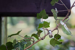 垂悬在植物的婚戒 库存图片