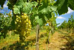 垂悬在植物的葡萄园葡萄 免版税库存照片